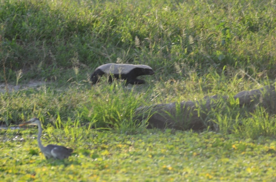 We were surprised to spot this Honey Badger (they're typically nocturnal) running along the edge of a pond in Tarangire National Park. Once again, the lens made all the difference.
