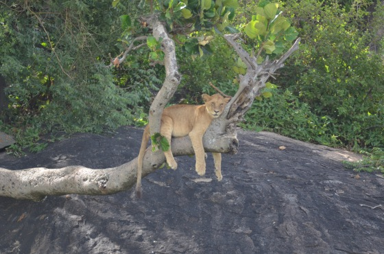 This lazy lion in a tree would have been hard to capture with our standard telephoto.