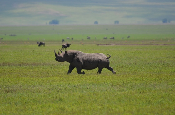 This Black Rhinoceros went for a trot across the Ngorongoro Crater, but was WAY too far away for any of the lenses we own. The rented lens brought him close enough for a great action shot!