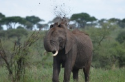 This elephant is taking a dirt bath.