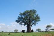 Elephants gather under a baobab tree in Tarangire National Park