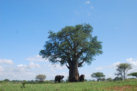 Elephants gather under a baobab tree in Tarangire National Park