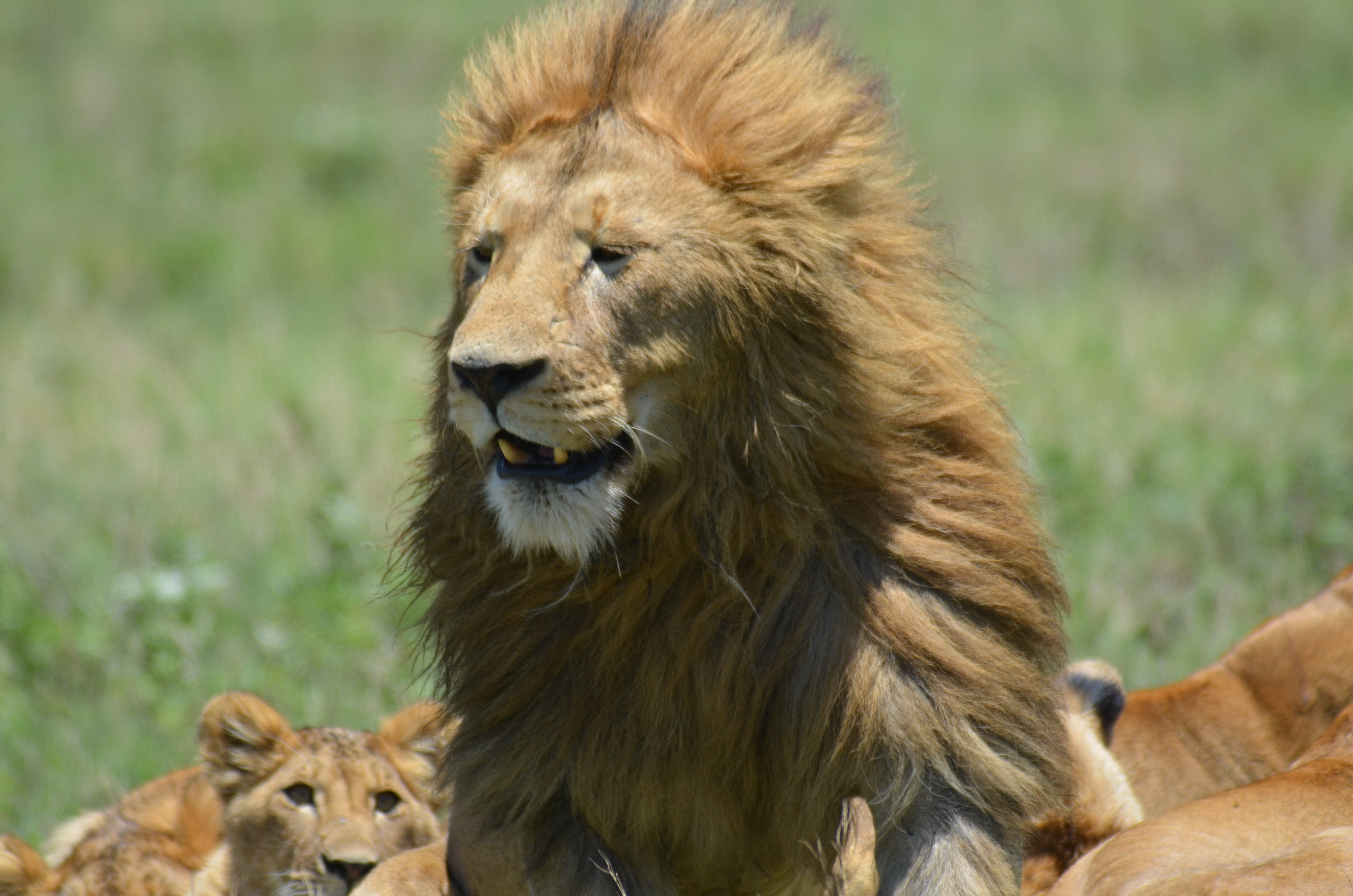 Lion sitting - photo#16