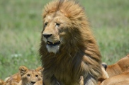 A lion cub keeps an eye on a stunning adult male.