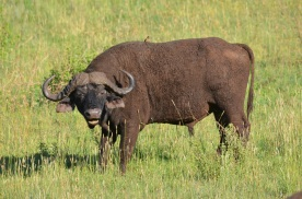 You can tell this is a male African buffalo because his horns join on top of his head.