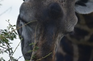 That's right, giraffes have lovely eyelashes.