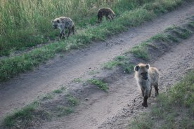 These hyena came out to see us every time we passed their den. They also visited our tents at night.