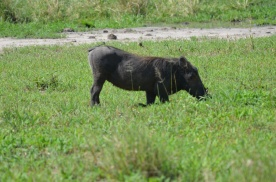 Warthogs spend a lot of time kneeling (because that's how they eat).