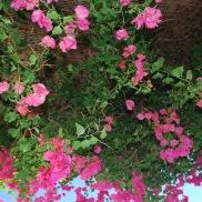 Beautiful bougainvillea in Batsi, Greece.