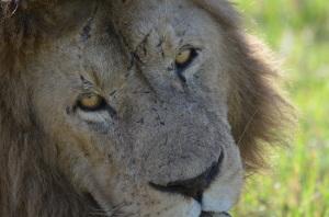 A Lion's Golden Eyes