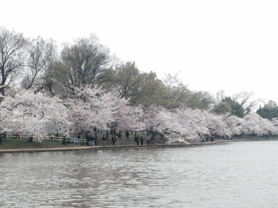 The Cherry Trees in bloom along the tidal basin in Washington, DC.
