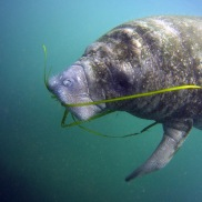 Manatee munching on some sea grass